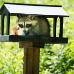 Protecting Your Roof From Raccoon Damage